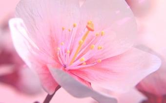 Sakura Çiçekli Logo Gösterimi
